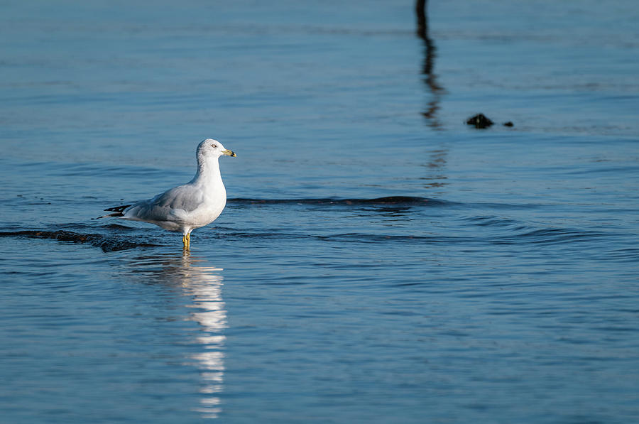 Wading Ring-billed Gull by Todd Henson