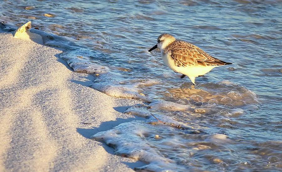 Wading Sanderling by Bill Chambers