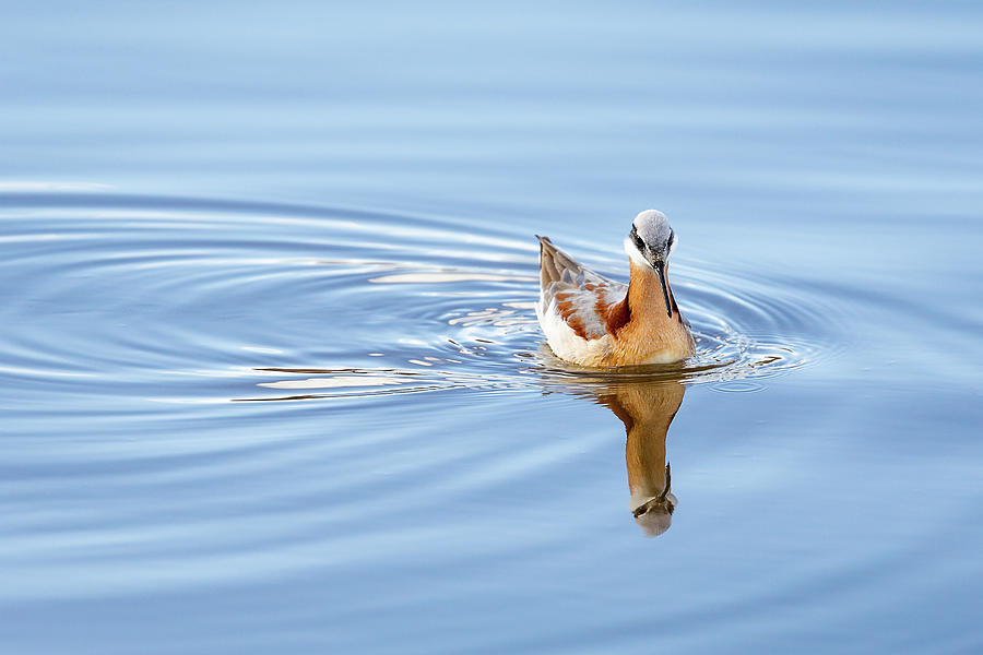 Wake Of A Phalarope by Ann Skelton