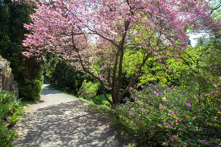 Walk In Spring Eden Pink Bloom Of Dogwood Tree 1 Photograph By