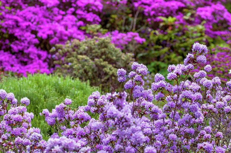 Walk In Spring Eden. Purple Bloom Of Rhododendrons Photograph