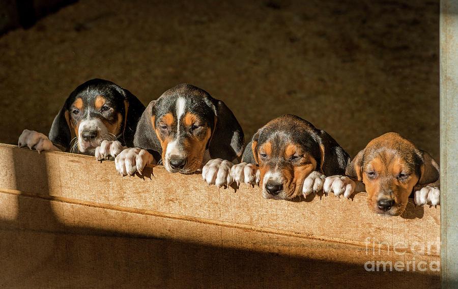 Walker Hound Puppies Photograph By Craig Cozart