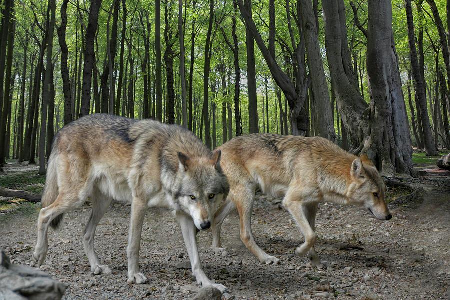 Walking Wolves Photograph