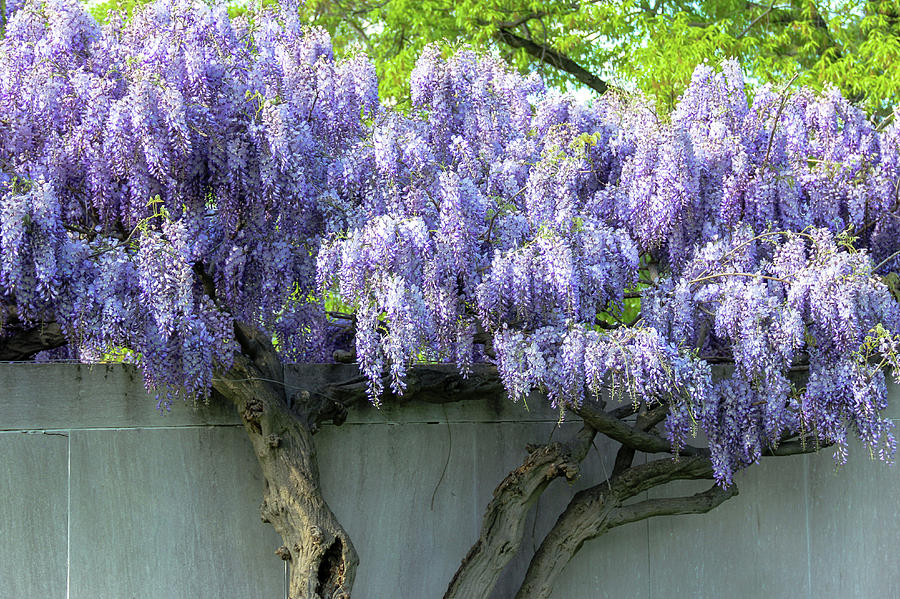 Wall Of Wisteria Photograph By Amy Sorvillo