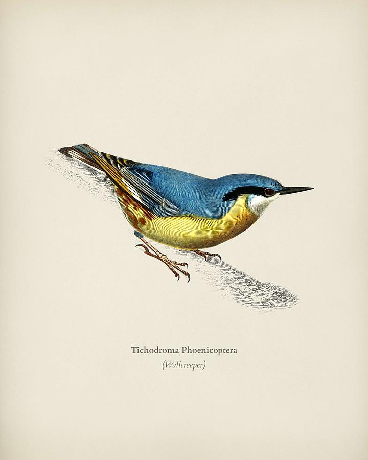 Wallcreeper  Tichodroma Phoenicoptera  illustrated by Charles Dessalines D Orbigny  1806 1876  2  by Celestial Images