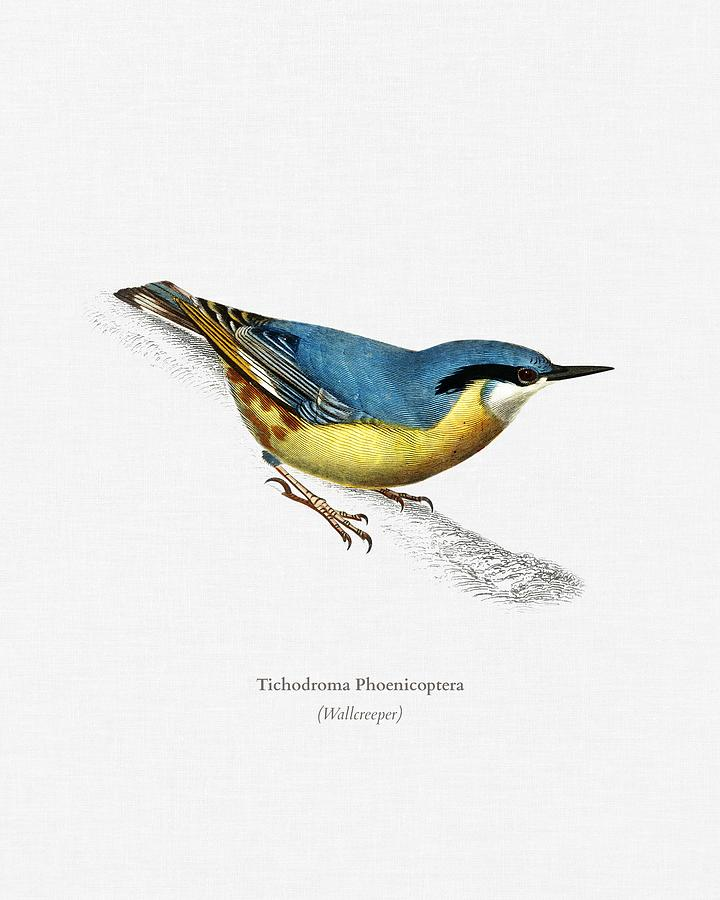 Wallcreeper  Tichodroma Phoenicoptera illustrated by Charles Dessalines D Orbigny  1806 1876  by Celestial Images