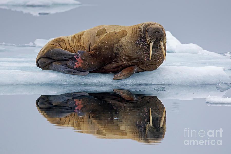 Walrus in Spitsbergen by Arterra Picture Library