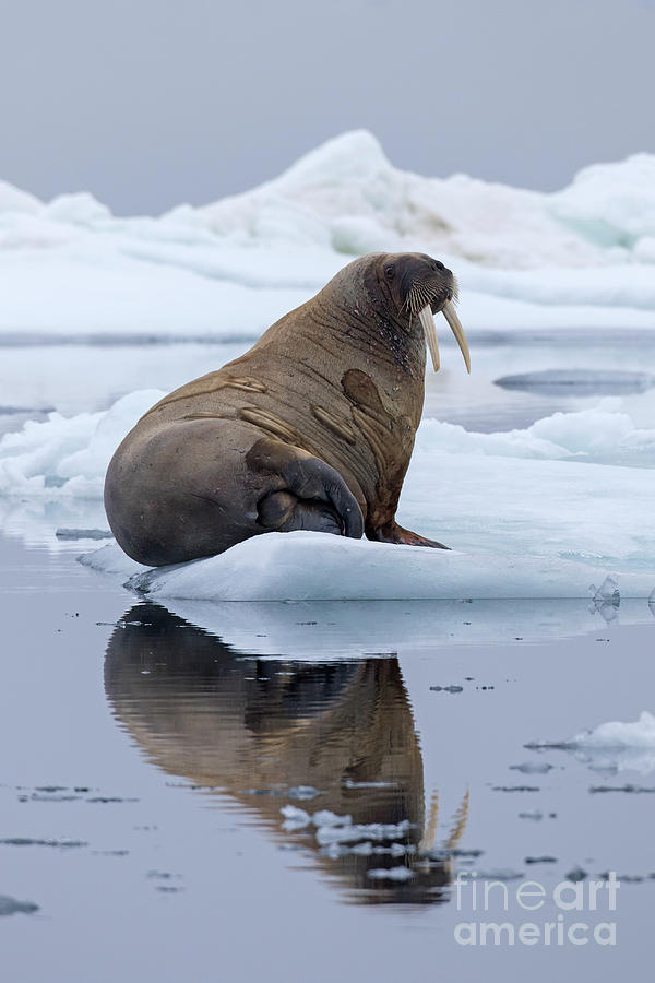 Walrus in Svalbard by Arterra Picture Library