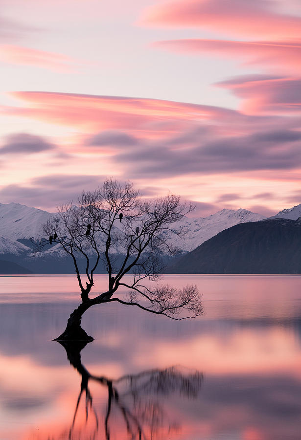 Wanaka Willow Tree With Roosting Birds Photograph by Dan Goodwin