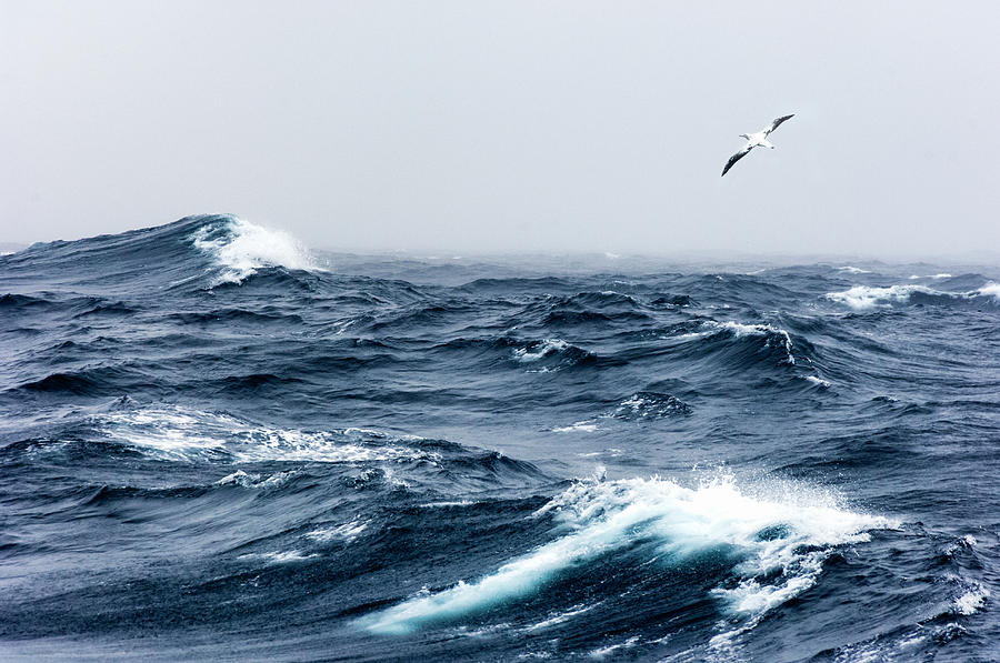 Wandering Albatross In Flight Over A Photograph by Mike Hill