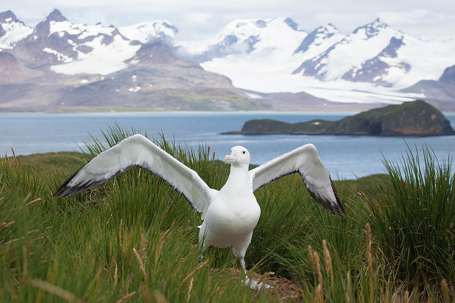Wandering Albatross In South Georgia Photograph by Galaxiid