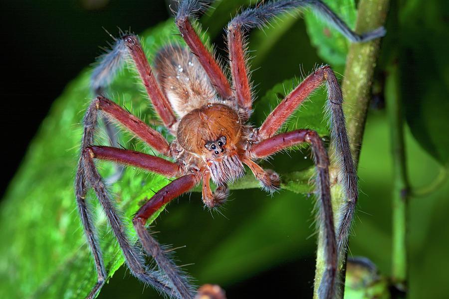 Wandering Spider Male Photograph by James Christensen