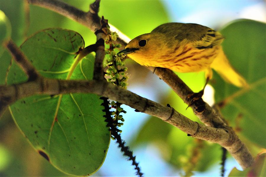 Yellow Warbler Photograph - Warblers Delight by Climate Change VI - Sales