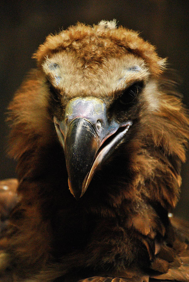Warm Glow on the Black Vulture by Darren Weeks