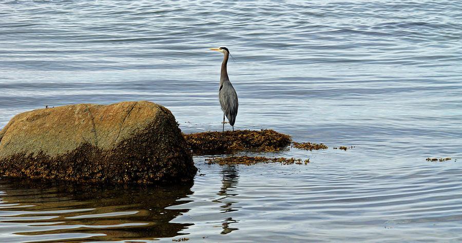 Wary Heron by Cameron Wood