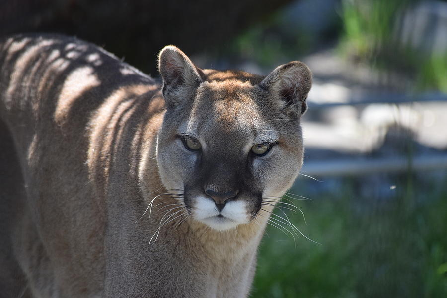 Washington Cougar by Lkb Art And Photography