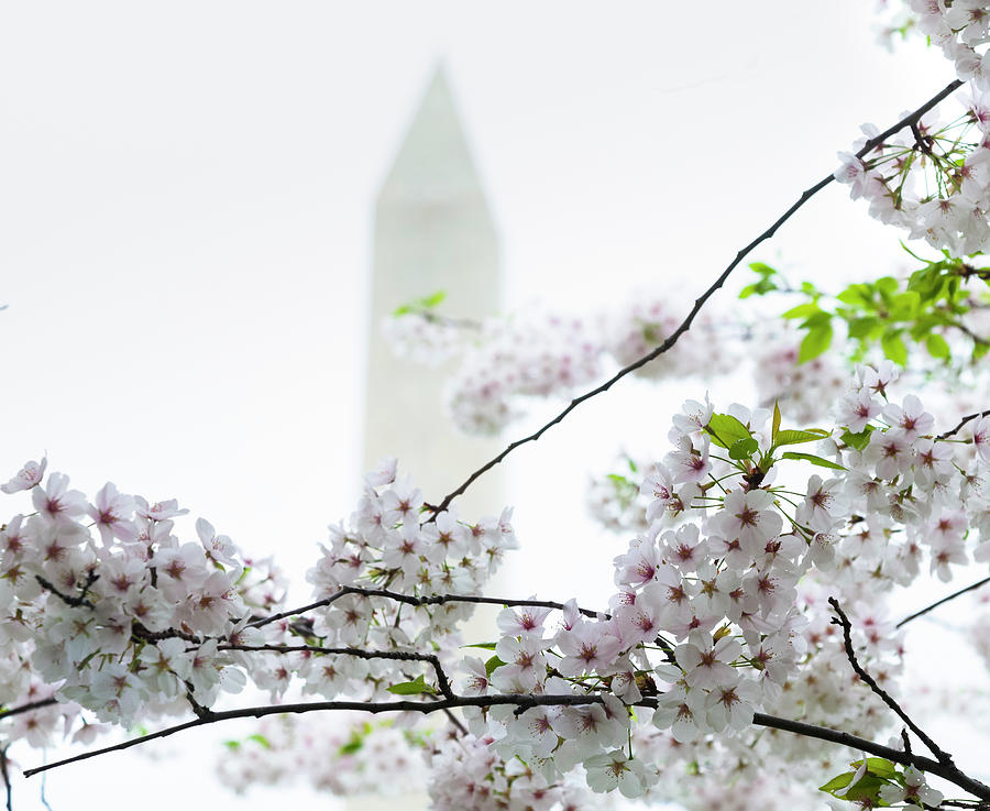 Washington Monument With Cherry Blossoms Photograph by Drnadig