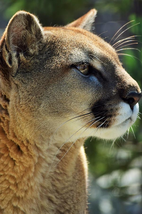 Washington Mountain Lion by Lkb Art And Photography