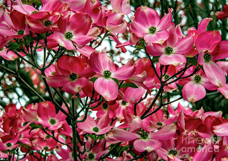 Prints Photograph - Washington State Magnolia by Mae Wertz