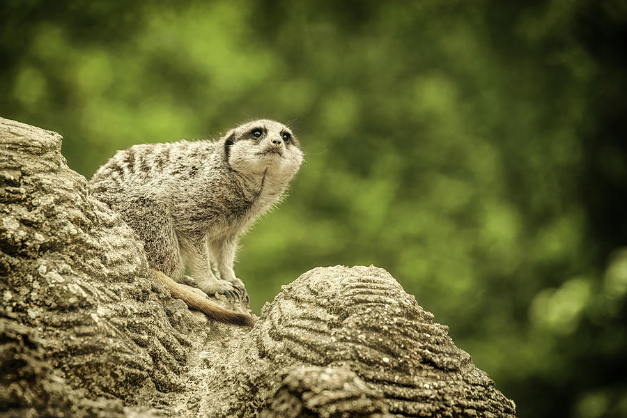Watchful Meerkat by Chris Boulton
