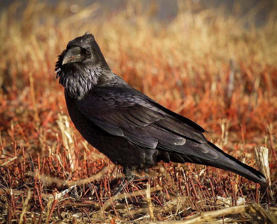 Watchful Raven by Jean Noren