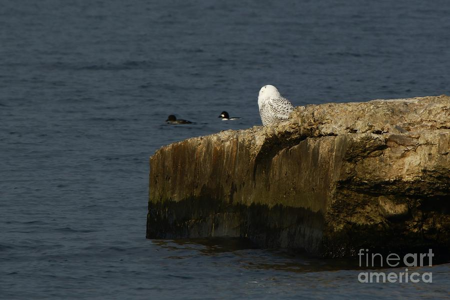 Snowy Owl Photograph - Watching Everyone Pass by Tony Lee