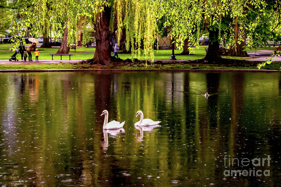 Watching The Swans Photograph