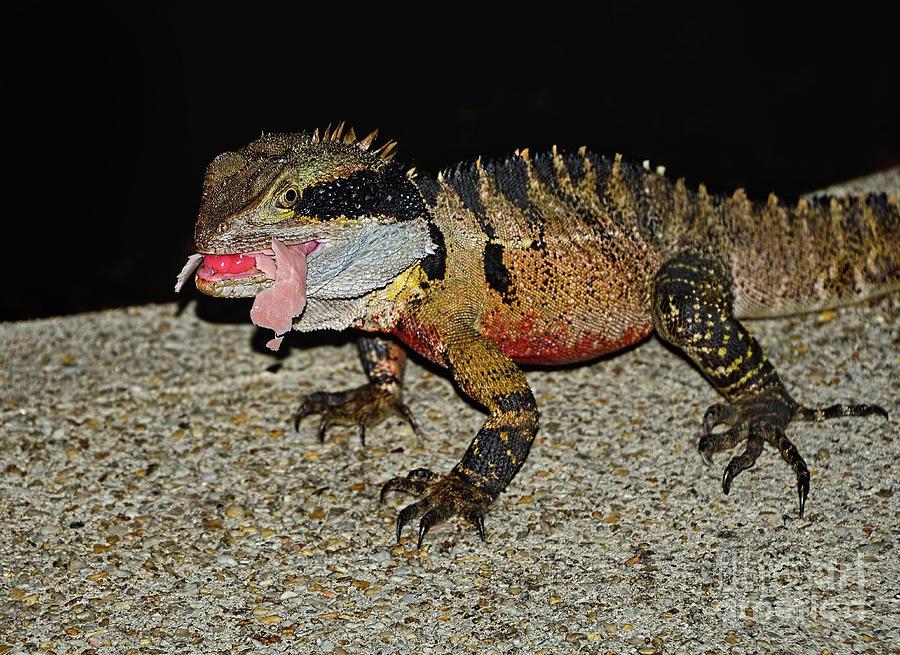 Water Dragon Eating Ham by Kaye Menner by Kaye Menner