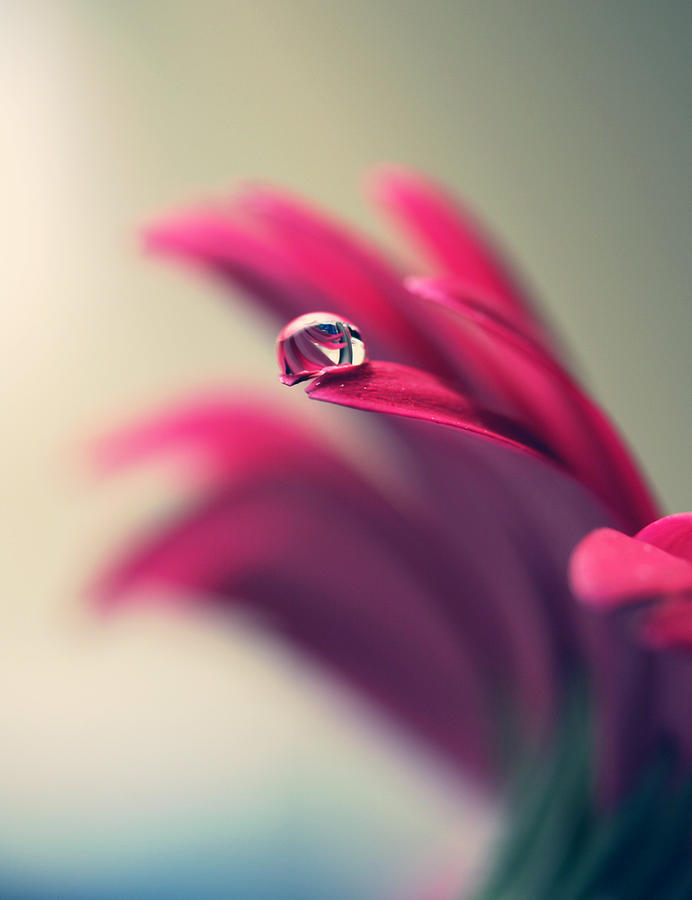 Water Drop On Red Daisy Petal Photograph by Coral Staley-hall