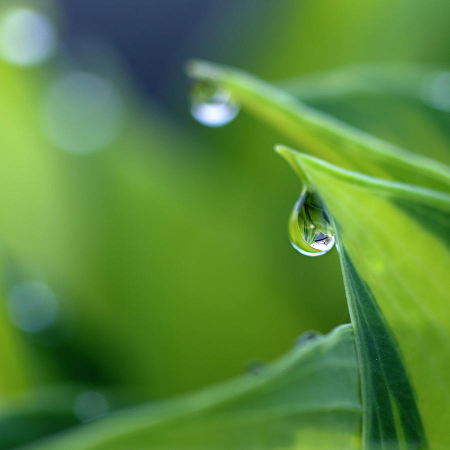 Water Drops On Hosta Leaves Photograph by Photography By Gordana Adamovic Mladenovic