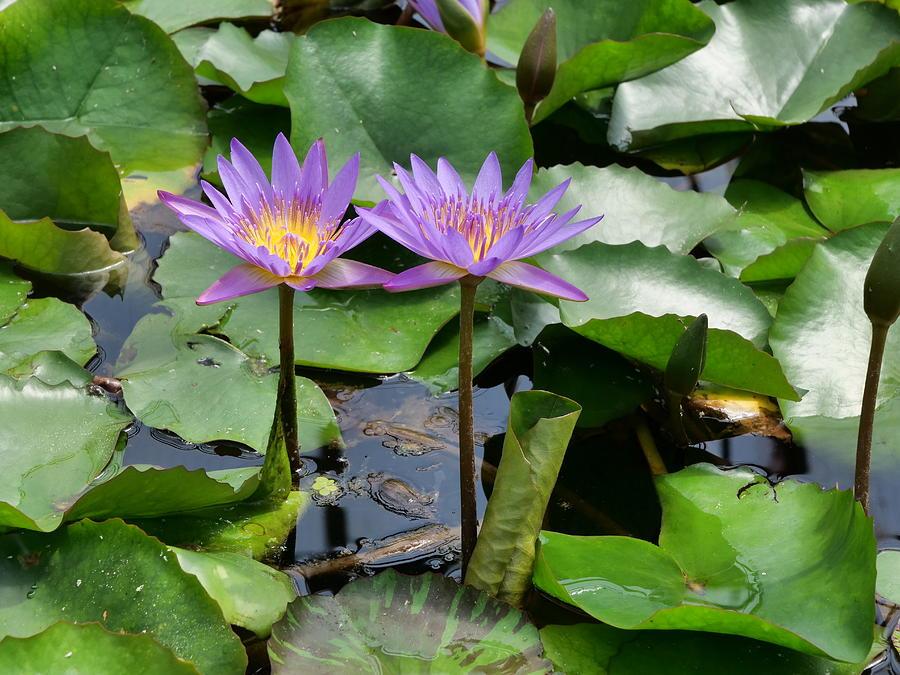 Water Lilies 12 by Allen Beatty