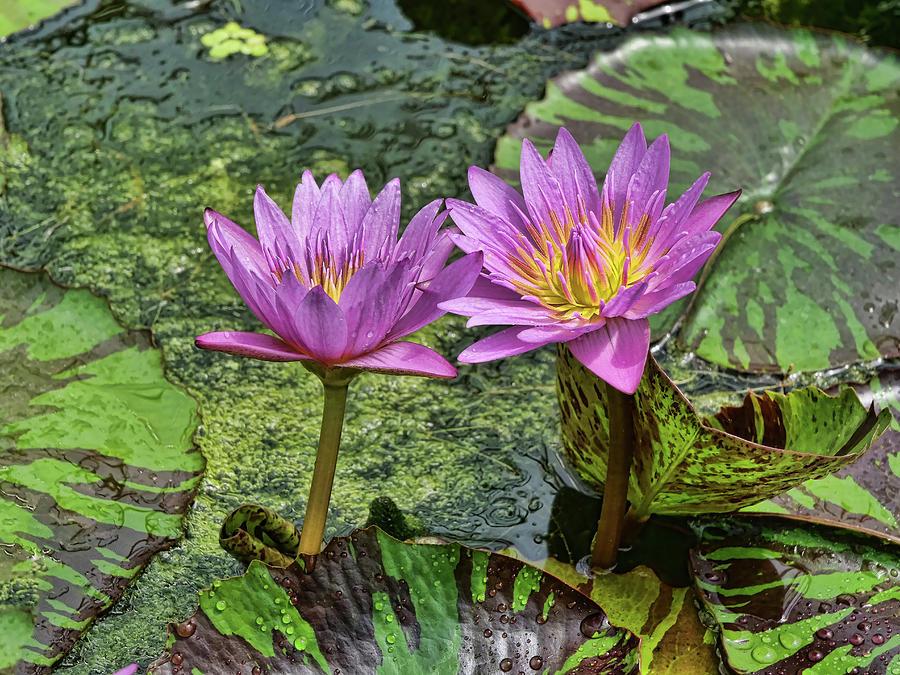 Water Lilies 13 by Allen Beatty