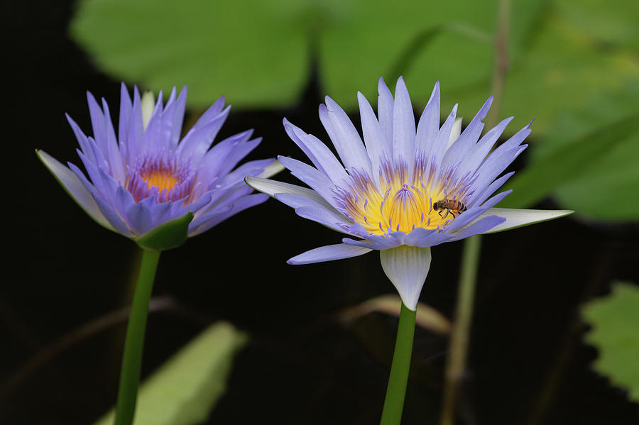 Water Lilies and Bee by John Daly