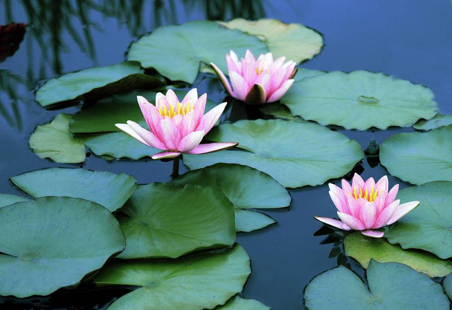 Water Lily Photograph - Water Lilies by Jessica Jenney