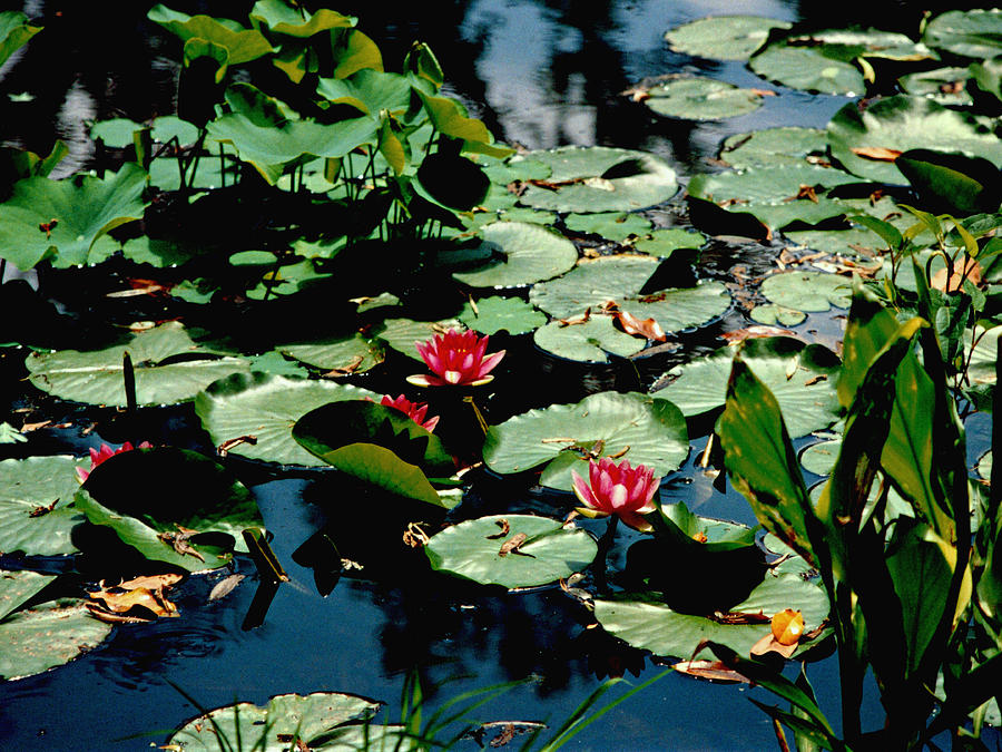 Water Lilies Photograph - Water Lilies by Michael McBrayer
