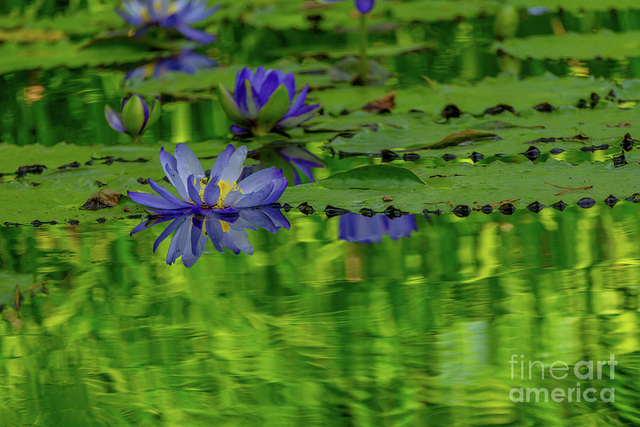 Water lilies on the lake by Annerose Walz