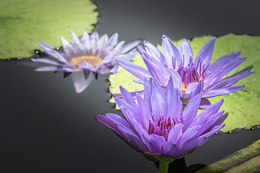 Water Lilies by Ronald Santini