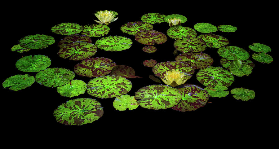 Water Lilies by Thomas Hall