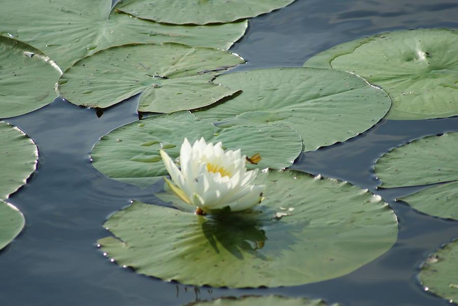 Water Lily 1 by Stephanie Pieczynski