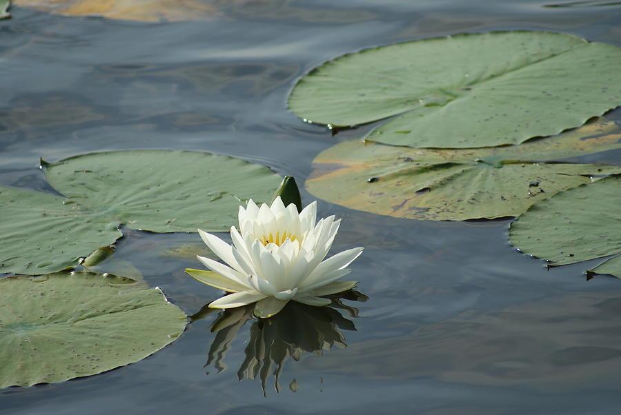 Water Lily 2 by Stephanie Pieczynski