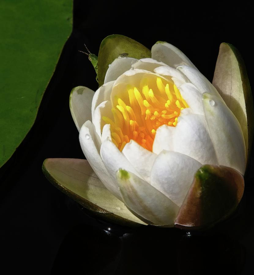 Water Lily 2 by Steve DaPonte