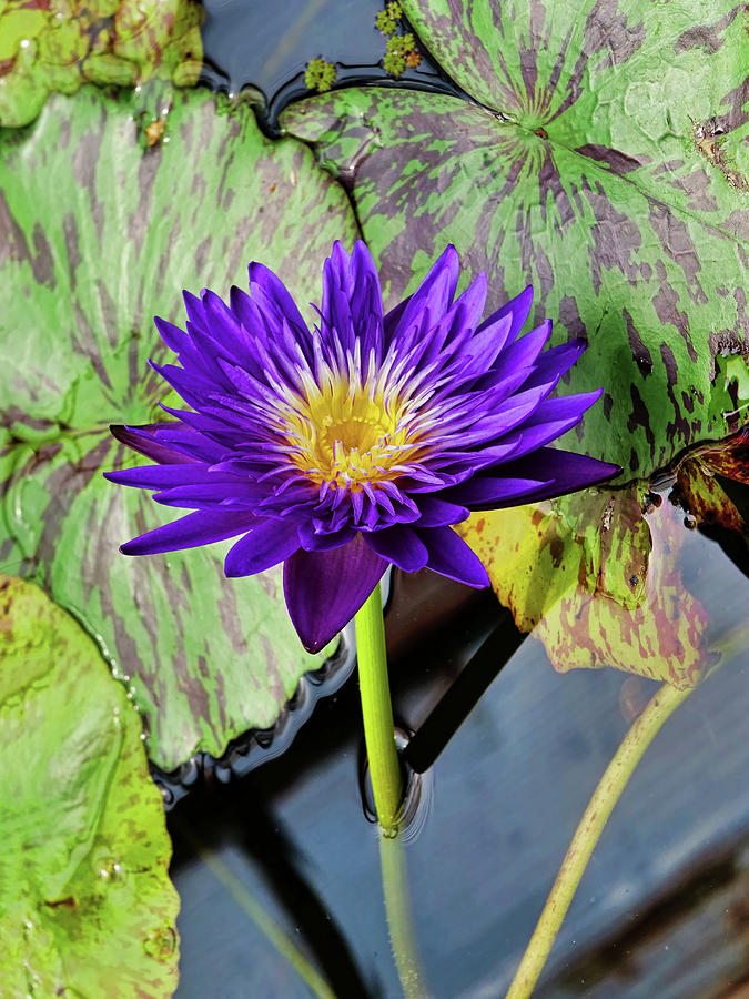 Water Lily 44 by Allen Beatty