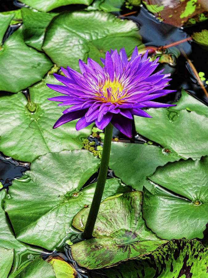 Water Lily 45 by Allen Beatty