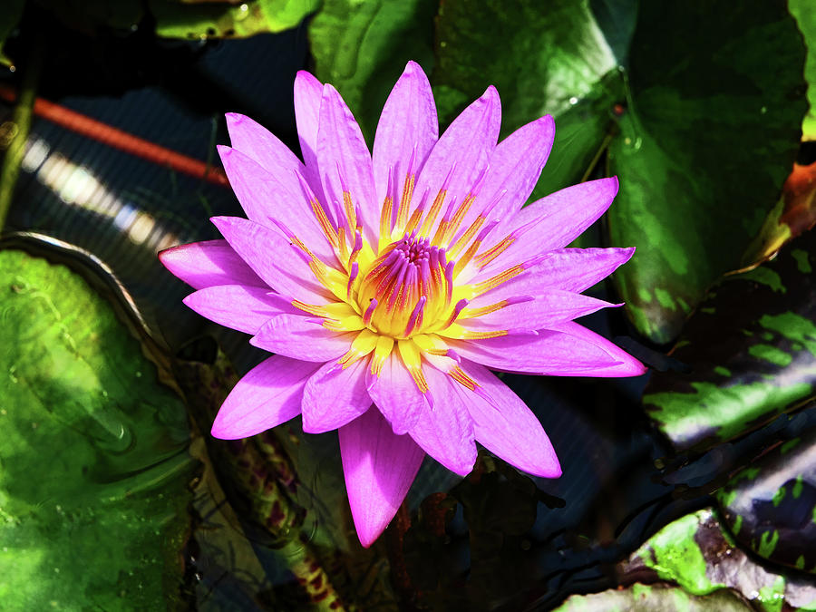 Water Lily 47 by Allen Beatty