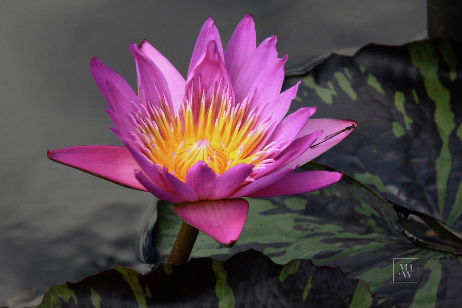 WATER LILY IN PURE MAGENTA by Yvonne Wright