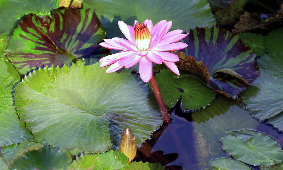 Water Lily Photograph - Water Lily in Sunlight by John Lautermilch