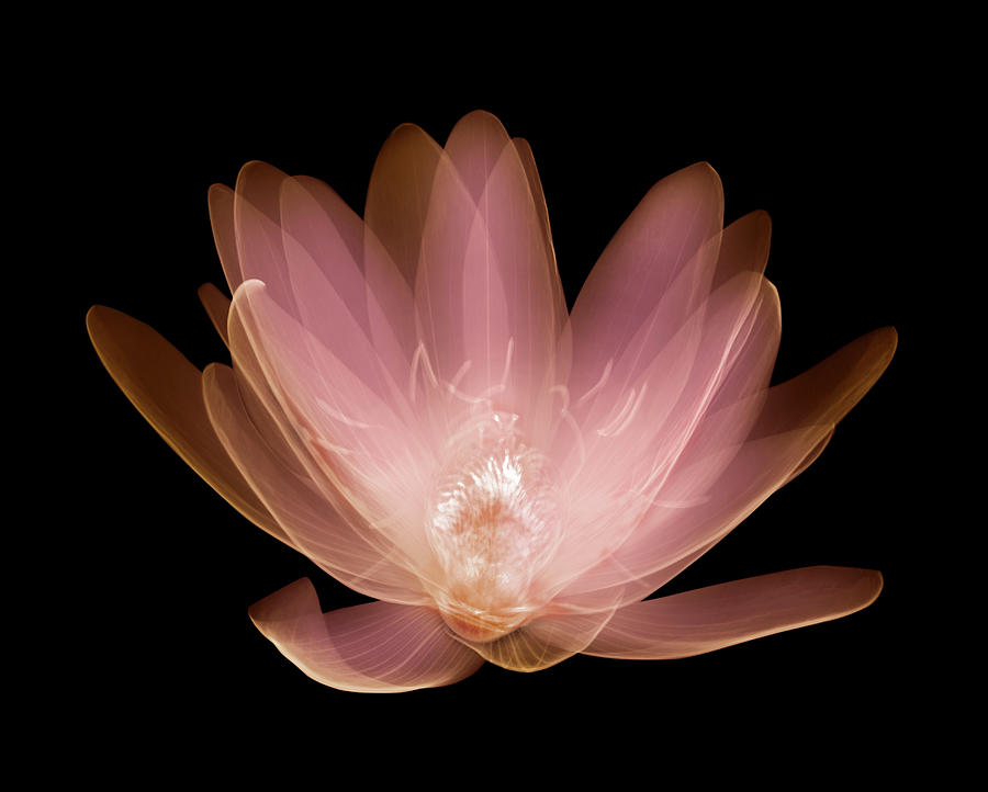 Water Lily Nymphaea Alba Photograph by Nick Veasey