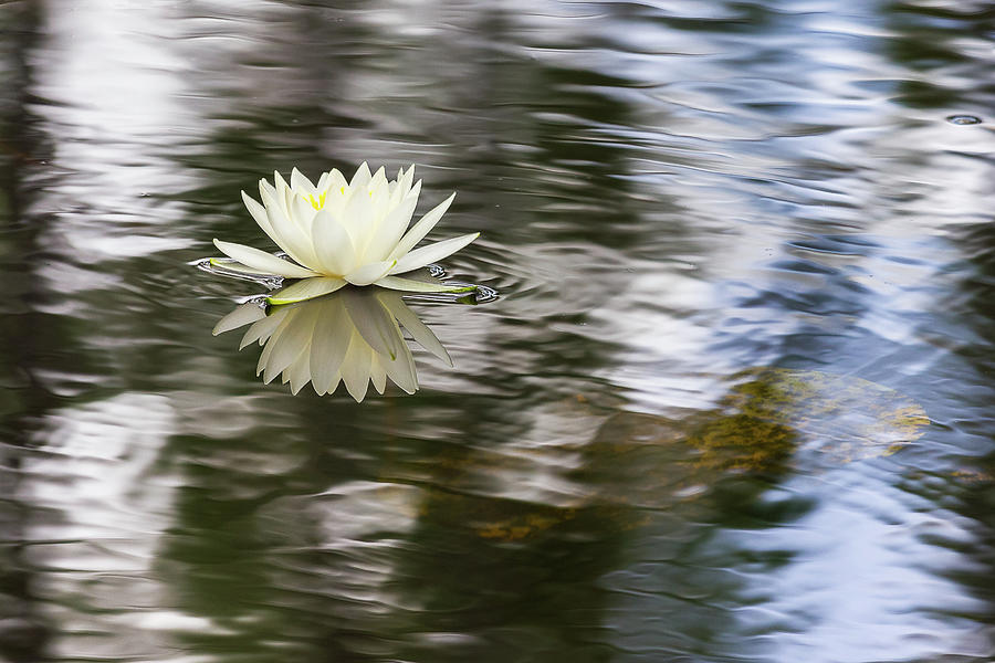 Water Lily by Penny Meyers