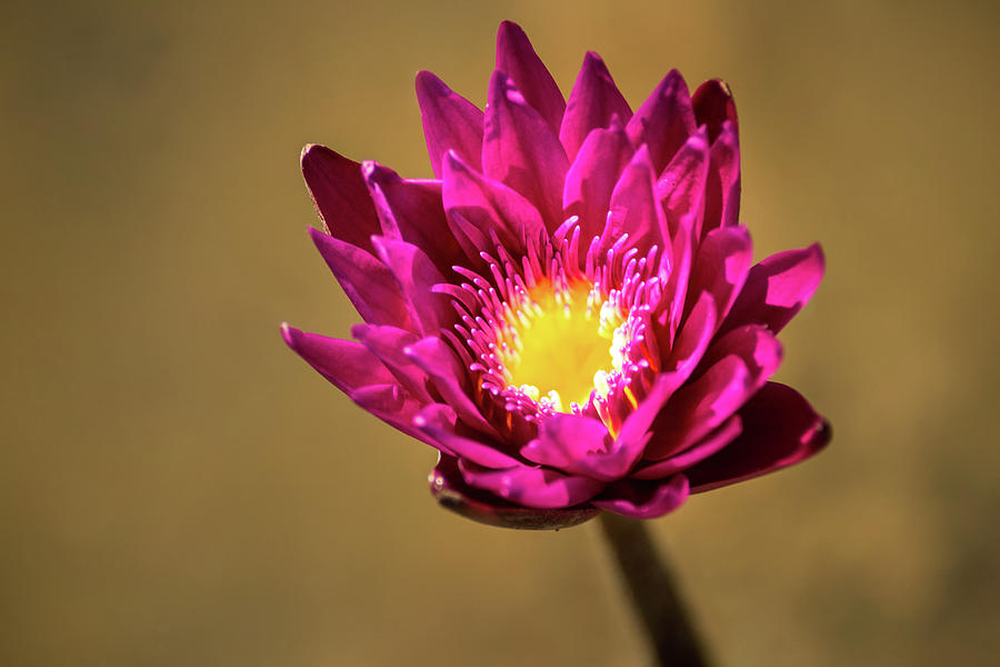 Water Lily Purple by Don Johnson
