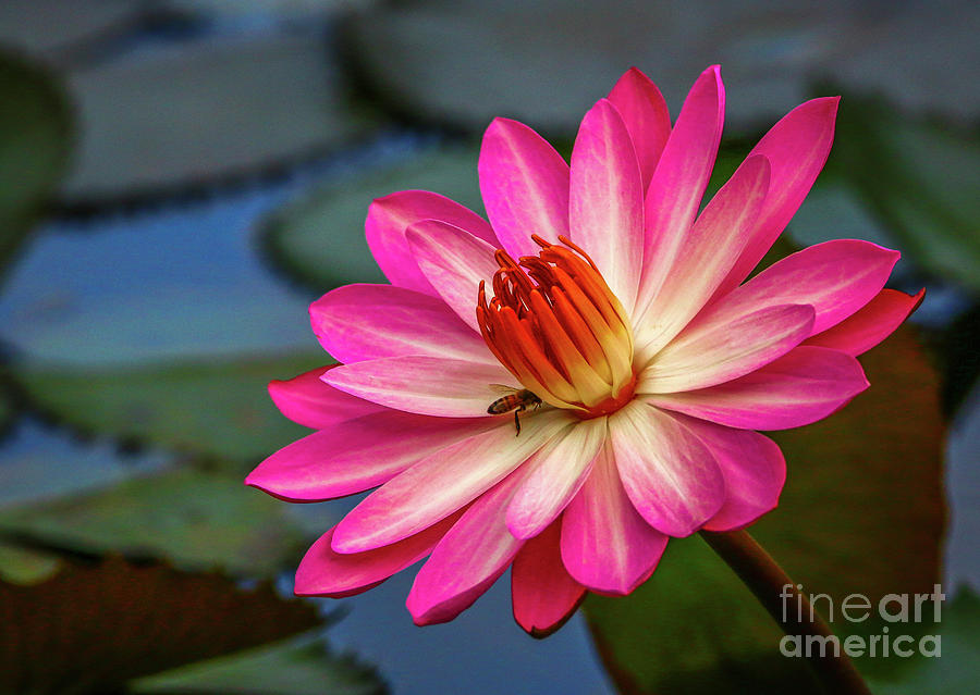 Water Lily with Bee by Tom Claud